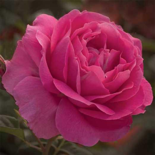 Grande Dame Hybrid Tea Rose