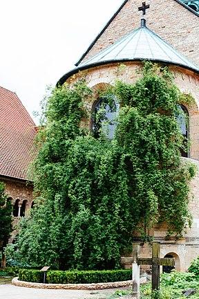 Hildesheim Rose 2