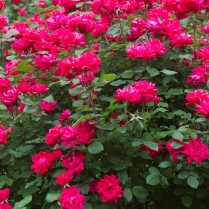 knock-out-roses-2-1